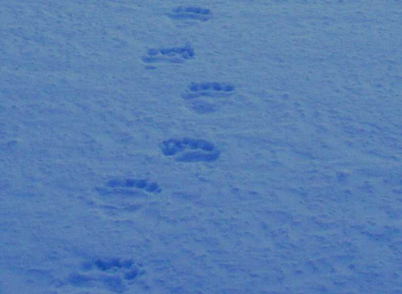 Yellowairplane Com Picture Of Polar Bear Tracks On The