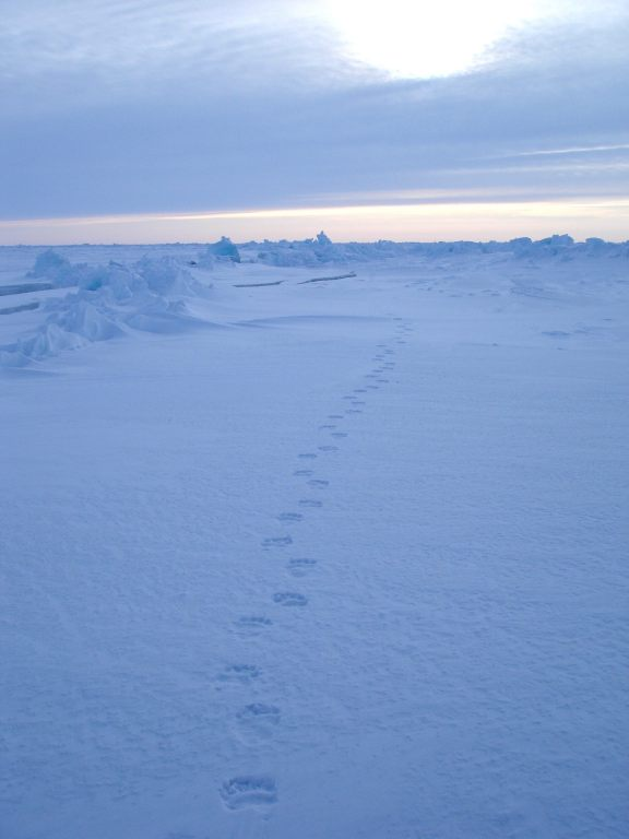 Yellowairplane Com Picture Of Polar Bear Tracks On The North Pole