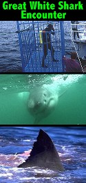 Great White Shark Encounter from Incredible Adventures